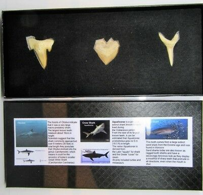 3 fossil shark teeth in collectors box inc ancestor of great white dinosaur gift
