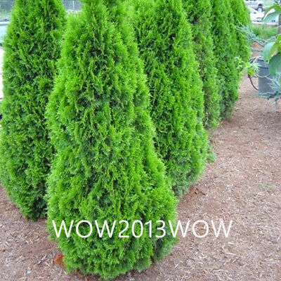 100pcs Cypress Tree Seeds Conifer Seed Garden Ornamental Green Tree Potted Plant