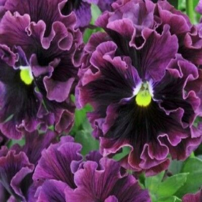 Pansy Frizzle Sizzle Burgundy 25 seeds - Annuals & Biennials