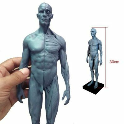 30cm Dental Human Anatomical Anatomy Skull Head Body Model Muscle Bone Model