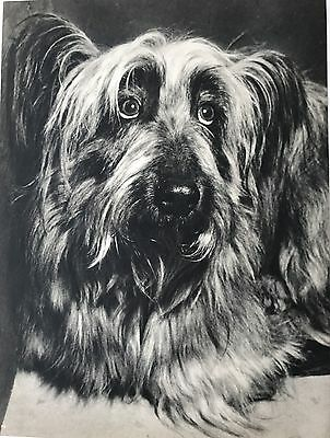 Vintage SKYE TERRIER DOG Original Full Page Book Print Photographed by YLLA