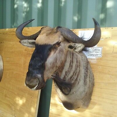 Widerbeest shoulder mount Taxidermy Hunting Trophy
