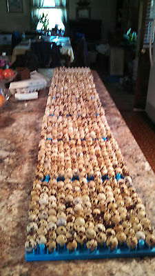 50+ jumbo brown hatching quail eggs