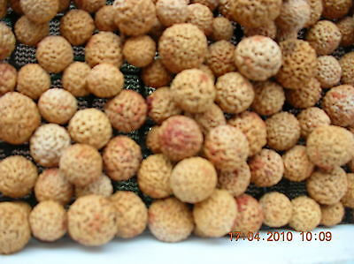 Dried New seasons Quandong Stones