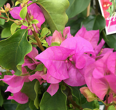TOM THUMB Bougainvillea Dwarf mauve-pink flowering plant in 140mm pot