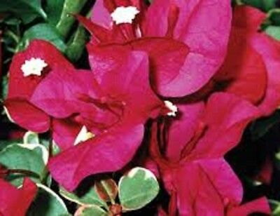 BAMBINO ZUKI Bougainvillea claret flowers, variegated plant in 140mm pot