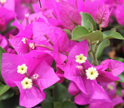 BAMBINO ZULU Bougainvillea very dark purple flowers, dwarf plant in 140mm pot