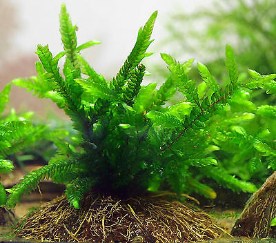 Lovely Willow Moss Gigantea on piece of coconut shell live aquarium plants