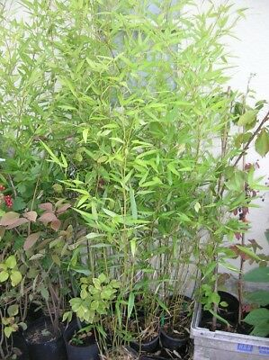 GREEN BAMBOO Phyllostachys BISSETTI 2l POTTED 4-5ft Multistemmed Screen Hedge