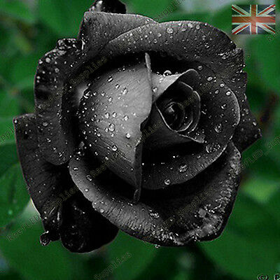 Rare Black Rose Flower Seeds Garden Plants, UK Seller, 10x Viable Seeds