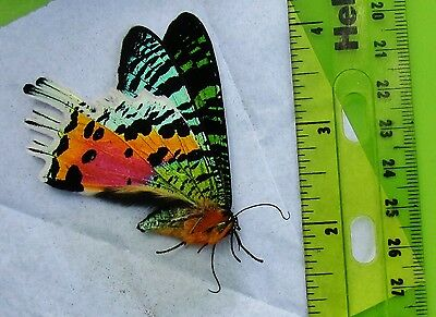 Lot of 25 Day Flying Sunset Moth Urania ripheus Papered FAST SHIP FROM USA