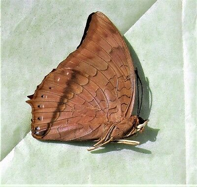 Lot of 2 Tawny Rajah Butterfly Charaxes bernardus crepax Male Folded FAST USA