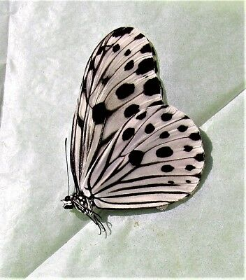 Smaller Wood Nymph Butterfly Ideopsis gaura perakana Folded/Papered Male FAST US
