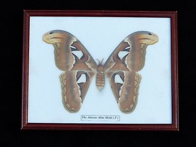 """Large Bat Size Attacus Atlas Moth Butterfly Framed & Mounted 8.5"""" Wide Wingspan"""
