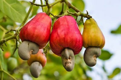 Cashew Tree Seeds Cashew Nuts Apple Rare Tropical Cashew Fruit Plant Tree Seeds