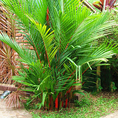 Sago Palm Tree Seeds Cycas Revoluta Tropical Fossil Sago Palm Seeds