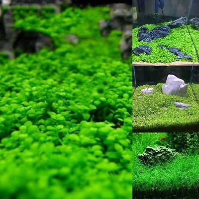 Fish Tank Aquarium Plant Seeds Aquatic Water Grass  Garden Foreground Plant O✿