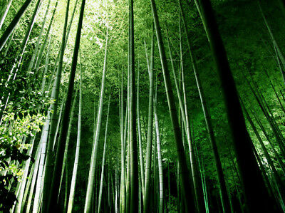 Seeds Phyllostachys Pubescens Moso-Bamboo Seeds Garden Plants