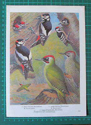 (5985) Woodpecker Bird Book Illustration  - 1964 Clip