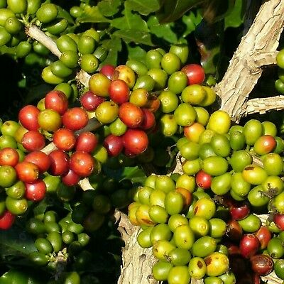 A Professional Pack Coffee Seeds Arabica Coffee Beans Seeds This is 100% Corr...