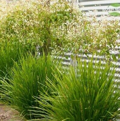 LIME TUFF Lomandra native hardy frost & dry tolerant grass plant in 140mm pot