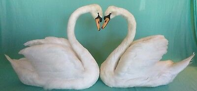 Mute Swan Pair with Heart-Shape, Taxidermy, For Wedding, Home Decor, Photo Shoot