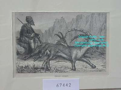 67442-Armenien-Armenia-Jagd-Hunting-Gemsen-TH-1880