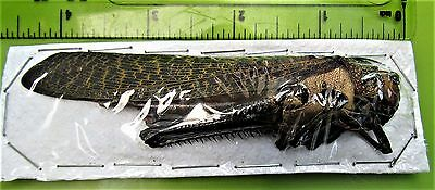 Giant Grasshopper Tropidacris dux Female  80-90mm FAST SHIP FROM USA