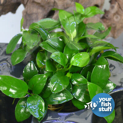 Anubias Barteri var. Nana 'Petite' Live Aquarium Plant 2x Clumps With 8 + Leaves