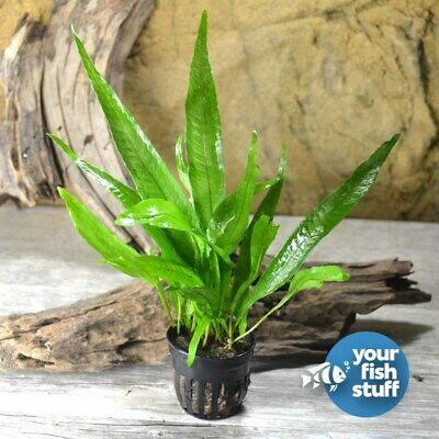 Java Fern' Philippine' Microsorum pteropus Potted Live Aquarium Plants