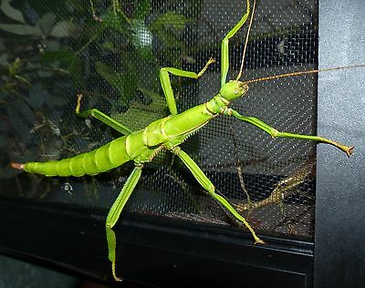 Green Bean Stick Insect Nymphs x 8