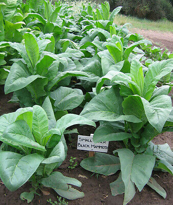1000 Black Mammoth Tobacco Seeds ~ Heirloom Nicotiana Tabacum ~ Pipe and Snuff