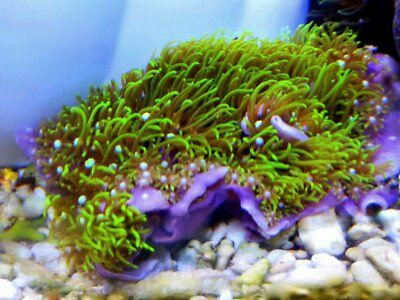 Green Star Polyps Marine Soft Coral Frag Superbright Green  - Stunning Colour