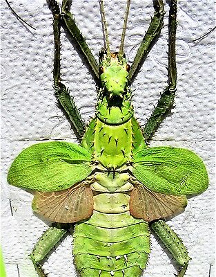 Jungle Nymph Heteropteryx dilatata Female Spread 135-150mm Stick FAST FROM USA