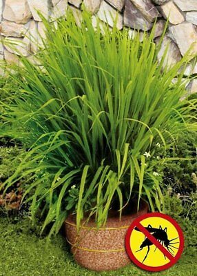 Lemongrass Citronela ( Hierba Limon ) cymbopogon flexuosus 300 semillas  seeds