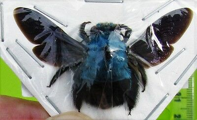 Uncommon Blue Carpenter Bee Xylocopa caerulea Female FAST SHIP FROM USA