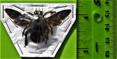 Uncommon Blue Carpenter Bee Xylocopa caerulea Male FAST SHIP FROM USA