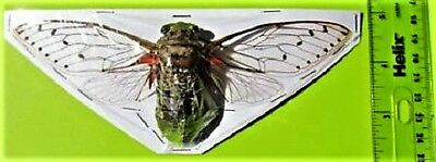 "Gigantic Cicada Pomponia intermedia Spread 6"" + FAST FROM USA"