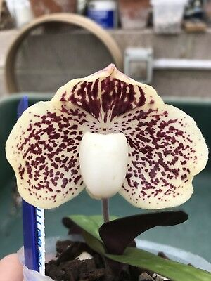 Paphiopedilum leucochilum 'Mr chen' - IN FLOWER - lovely Patterning On Flower