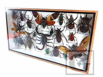 Real Insect Bug Butterfly Taxidermy Display in Framed Box Big Set Gift gpasy 29