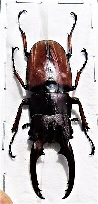 Stag-Beetle Prosopocoilus astacoides cinnamomeus Male FAST SHIP FROM USA
