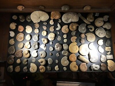 Exceptional Batch Of 100 Different Ammonites At 1$ Without Reserve Price.