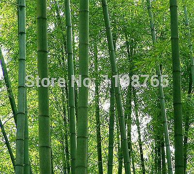 300 pcs fresh giant moso bamboo seeds for DIY home garden Household items 49%