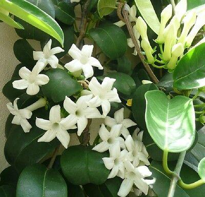 WHITE SATIN Stephanotis floribunda fragrant flowers climbing plant in 140mm pot