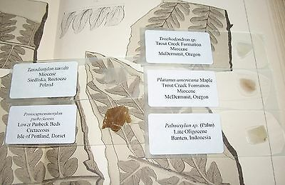Fossil petrified wood THIN SECTION collection Palm Maple Palmoxylon Miocene #2