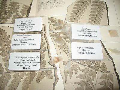 Fossil petrified wood THIN SECTION collection #1 Metasequoia Laurel Dawn Redwood
