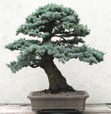 Cedrus Deodara Seeds Cedrus Deodara Conifer Indoor Plant Bonsai Tree Seeds