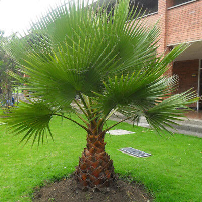 Palm Tree Seeds Trachycarpus Fortunei Bonsai Tropical Ornamental Tree Palm
