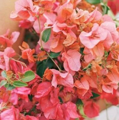 TINY TINA Bougainvillea terracotta-pink flowers compact plant in 140mm pot
