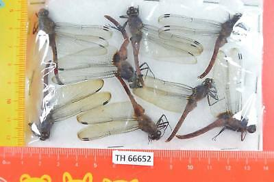 TH 66652  # Beetle  DRAGONFLY ODONATA Vietnam CENTRAL